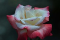 Close-up of a pink and white rose, Los Angeles County, California, USA Fine-Art Print