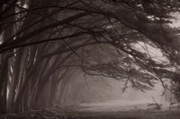 Cypress trees at misty morning, Fort Bragg, California, USA Fine-Art Print