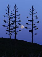 The moon rising between agave trees, Miramar, Argentina Fine-Art Print
