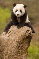 China, Wolong Panda Reserve, Baby Panda bear on stump Fine-Art Print