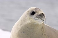 Close up of Crabeater seal, Antarctica Fine-Art Print