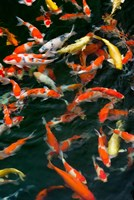China, Hong Kong, Kowloon, Koi carp in Nan Lian Garden Fine-Art Print