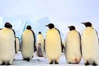 Emperor Penguins, Atka Bay, Weddell Sea, Antarctica Fine-Art Print