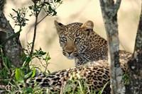 Leopard resting beneath tree, Maasai Mara, Kenya Fine-Art Print