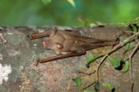 Madagascar, Commerson's leaf-nosed bat wildlife Fine-Art Print