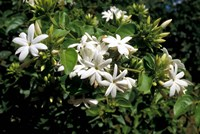 Jasmine Flowers in Bloom, Madagascar Fine-Art Print