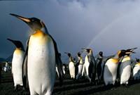 Rainbow Above Colony of King Penguins, Saint Andrews Bay, South Georgia Island, Sub-Antarctica Fine-Art Print