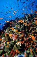 Scalefin Anthias Fish at Habili Ali, Red Sea, Egypt Fine-Art Print