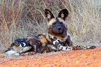South Africa, Madikwe Game Reserve, African Wild Dog Fine-Art Print