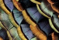 South American Ocellated Turkey Fine-Art Print