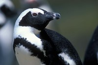Close up of African Penguin Fine-Art Print