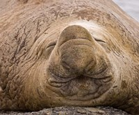 South Georgia Island, Sleeping bull elephant seal Fine-Art Print