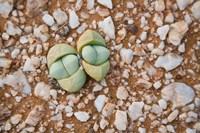 Succulents, quartz, Cape Province, South Africa Fine-Art Print