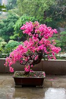 Spring Blossoms cover Bonsai, The Chi Lin Buddhist Nunnery, Hong Kong, China Fine-Art Print