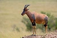 Topi antelope, termite mound, Masai Mara GR, Kenya Fine-Art Print