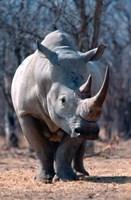 White Square-Lipped Rhino, Namibia Fine-Art Print