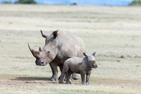 White rhinoceros mother with calf, Kenya Fine-Art Print