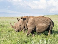 White rhinoceros, Ceratotherium simum, Kenya, Africa Fine-Art Print