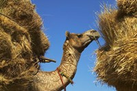 Camel Carrying Straw, Pushkar, Rajasthan, India Fine-Art Print