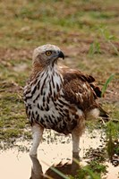 Changeable Hawk Eagle, Corbett National Park, India Fine-Art Print