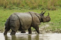 One-horned Rhinoceros, coming out of jungle pond, Kaziranga NP, India Fine-Art Print