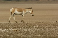 Asiatic Wild Ass, Donkey, Gujarat, INDIA Fine-Art Print