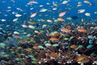 Sea of fish and coral, Raja Ampat, Papua, Indonesia Fine-Art Print
