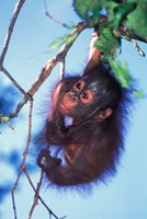 Baby Orangutan, Tanjung Putting National Park, Indonesia Fine-Art Print