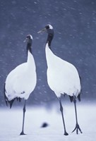 Red-crowned Crane, Hokkaido, Japan Fine-Art Print