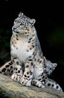 Snow Leopard, Uncia uncia, Panthera uncia, Asia Fine-Art Print