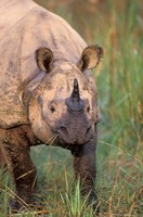 Asia, Nepal, Royal Chitwan NP. Indian rhinoceros Fine-Art Print