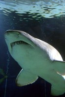 Shark at Manly Aquarium, Sydney, Australia Fine-Art Print