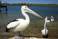 Australian Pelican, Australia Fine-Art Print