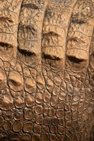 Detail of Crocodile Skin, Australia Fine-Art Print
