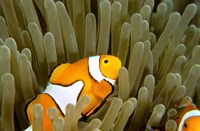 Australia, Great Barrier Reef, Clown fish Fine-Art Print