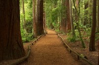 Path through Redwood Forest, Rotorua, New Zealand Fine-Art Print