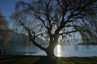Willow Tree, Lake Wanaka, Wanaka, South Island, New Zealand Fine-Art Print
