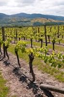 New Zealand, Wairau Rivery Winery vineyard Fine-Art Print