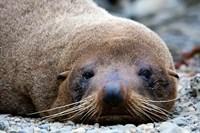 New Zealand, South Island, Kaikoura Coast, Fur Seal Fine-Art Print