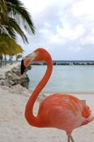 Pink Flamingo on Renaissance Island, Aruba, Caribbean Fine-Art Print