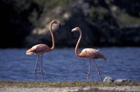 Pink Flamingos on Lake Goto Meer, Bonaire, Caribbean Fine-Art Print