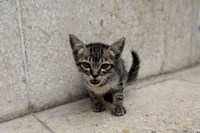 Cute kitten on the streets of Old Havana, Havana, Cuba Fine-Art Print