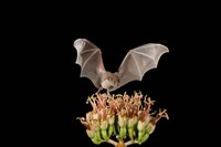 Lesser Long-nosed Bat, Tuscon, Arizona Fine-Art Print