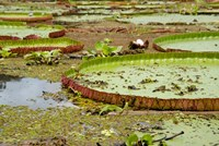 Brazil, Amazon, Valeria River, Boca da Valeria Giant Amazon lily pads Fine-Art Print