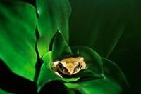 Coqui Frog in Puerto Rico Fine-Art Print