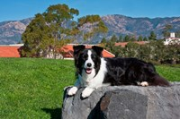 A Border Collie dog Fine-Art Print