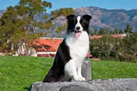 A Border Collie dog sitting Fine-Art Print