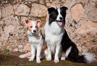 An adult Border Collie dog with puppy Fine-Art Print
