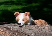 Border Collie puppy dog looking over a log Fine-Art Print