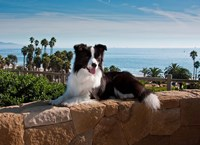 A Border Collie dog resting on a wall Fine-Art Print